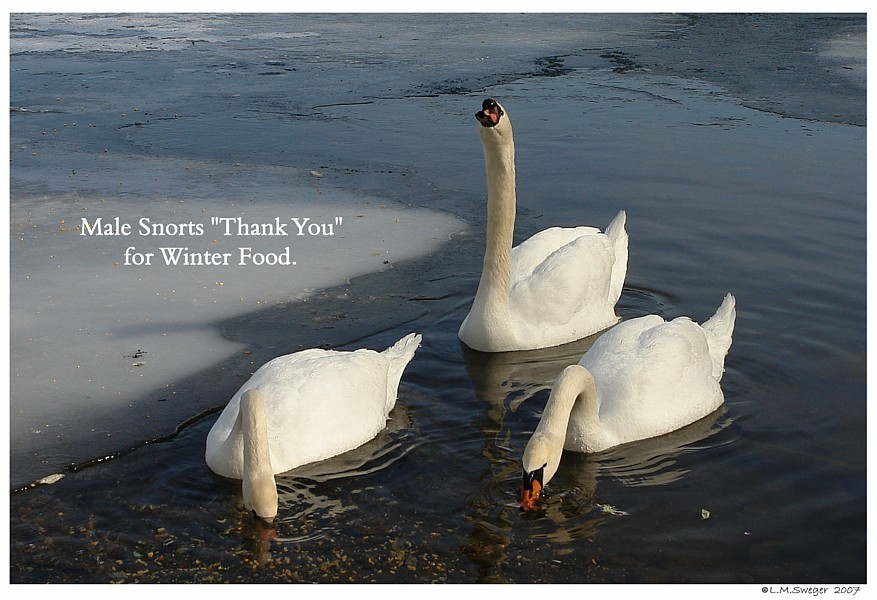 Feeding Winter Swans