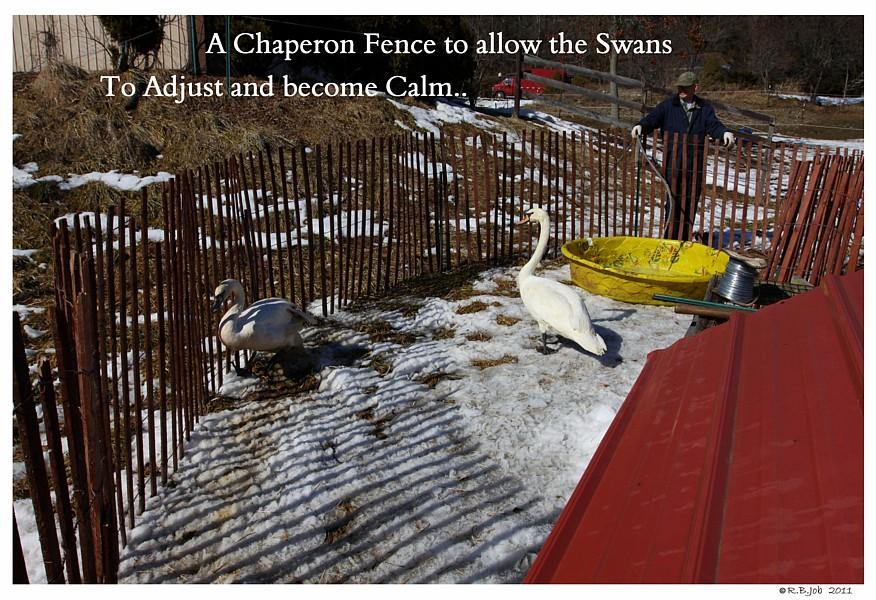 Swan Chaperon Fence