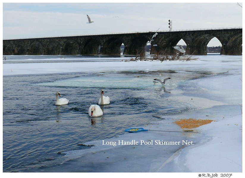 Feeding Swans in Winter
