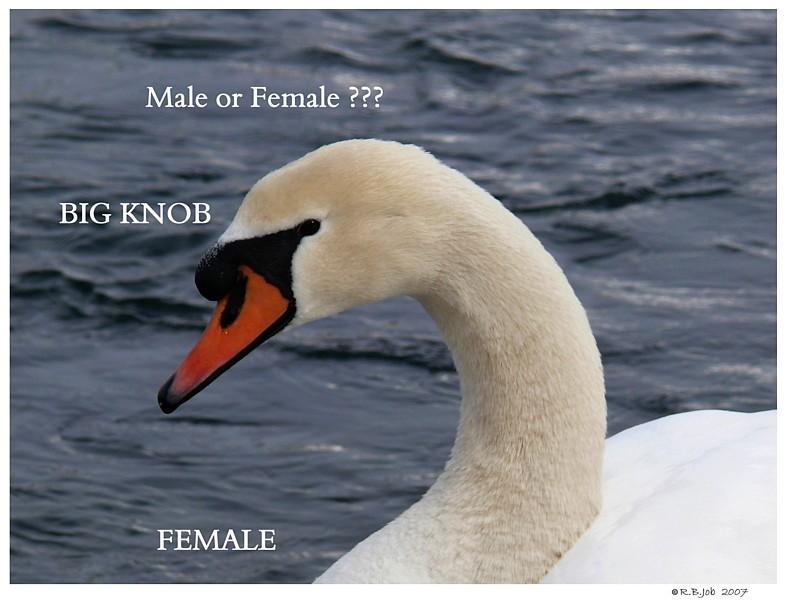 Determine sex of mute swan? - BirdForum