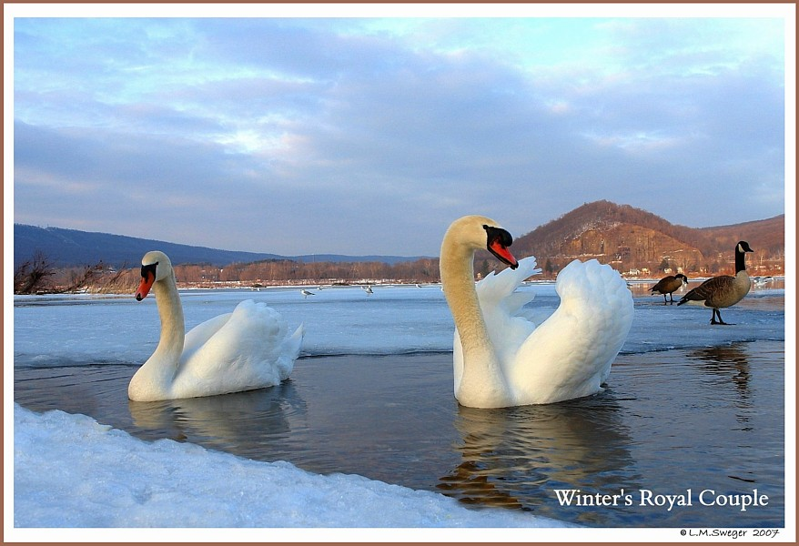 Royal Mute Swans