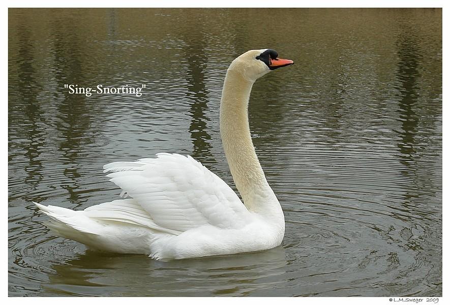 Lone Male Swan Singing