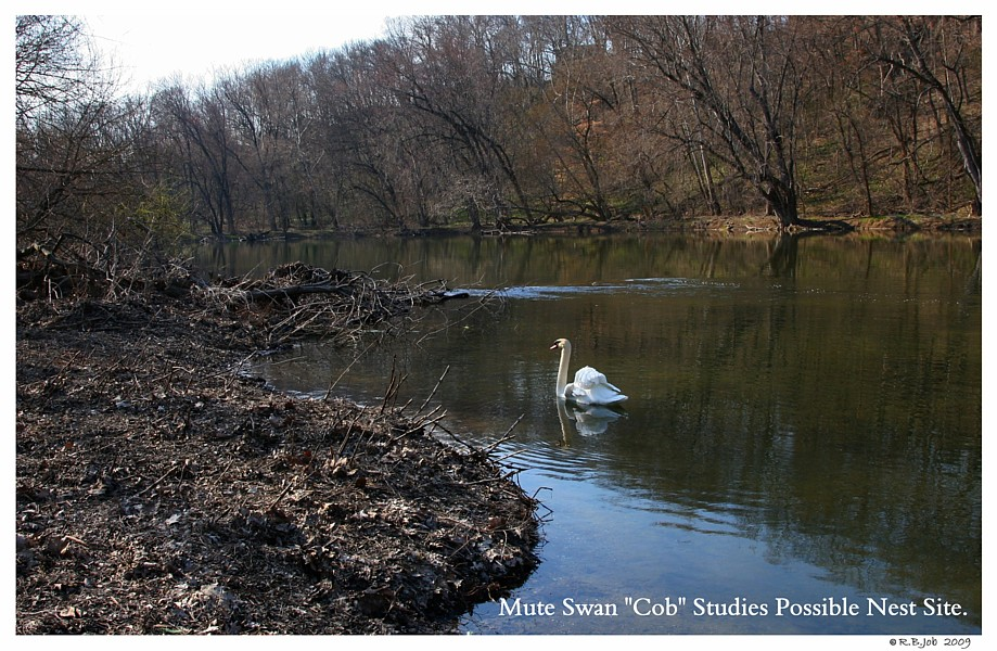 Mute Swan Cob Planning