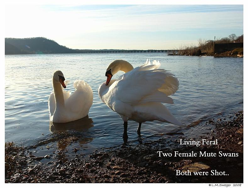 Feral Female Mute Swans