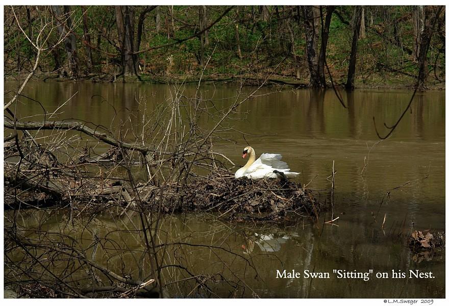 Male Swan Nesting