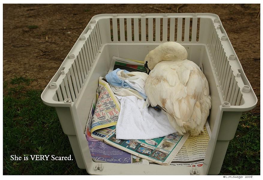 Before Releasing Swan