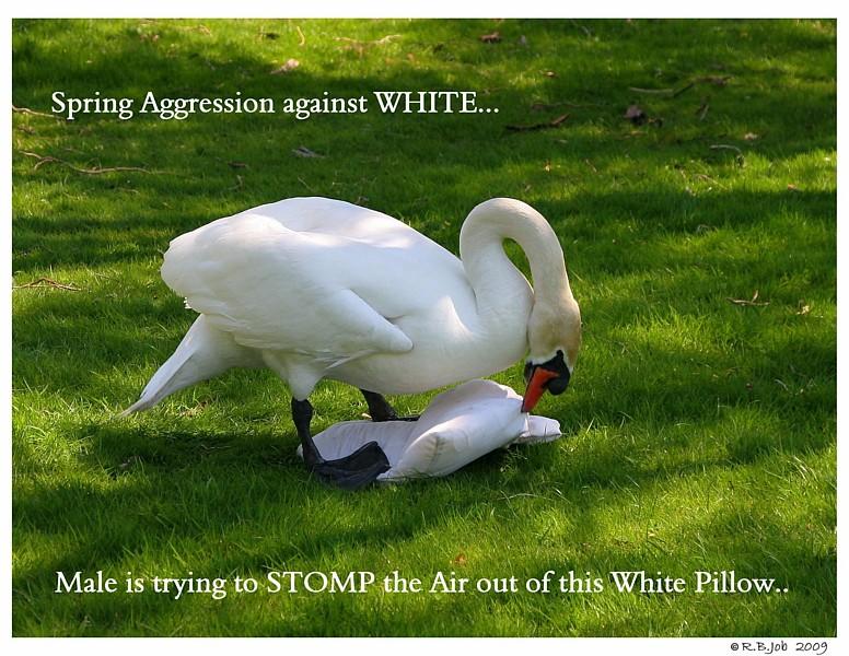 Aggressive Male Swan