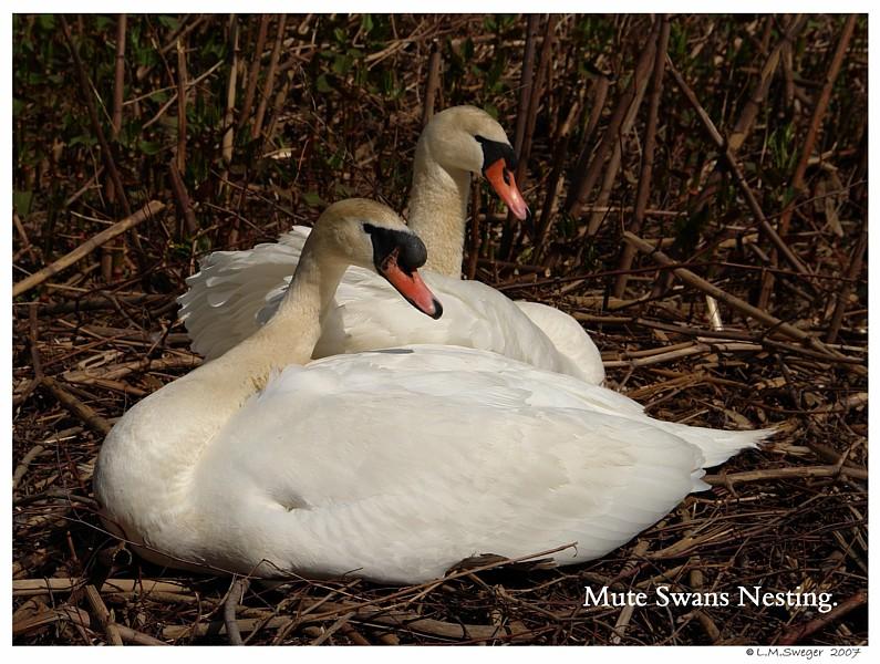 Nesting Mute Swans