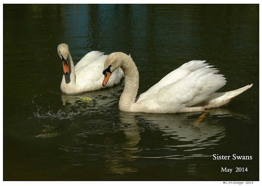 Swan Lost Trust