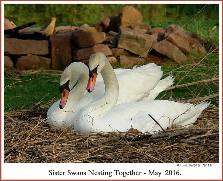 Nesting Sister Swans