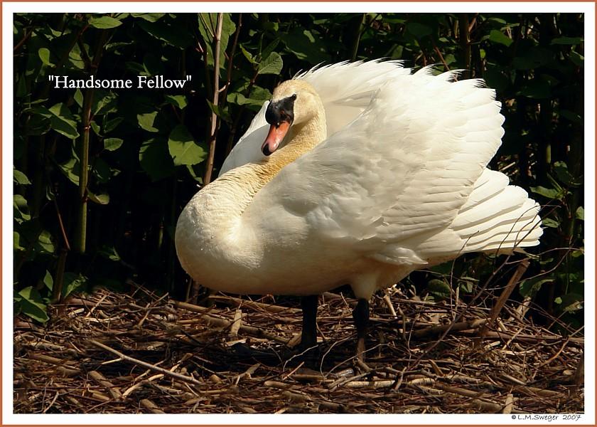 Handsome Swan