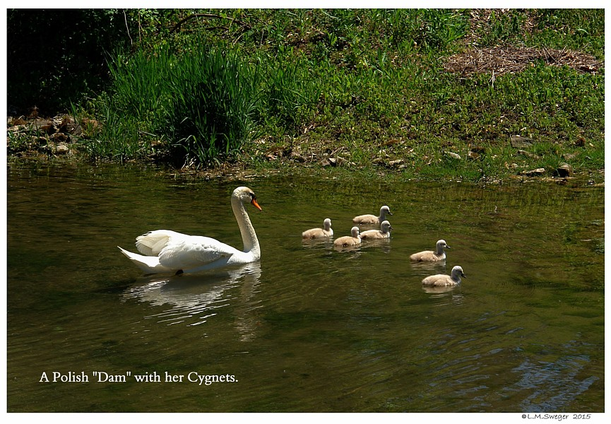 Polish Mute Swans