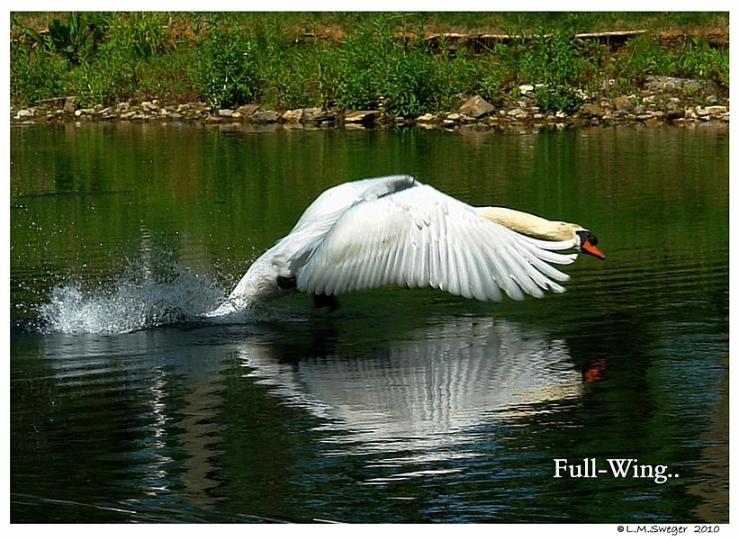 Swan Wing-Tips on Water