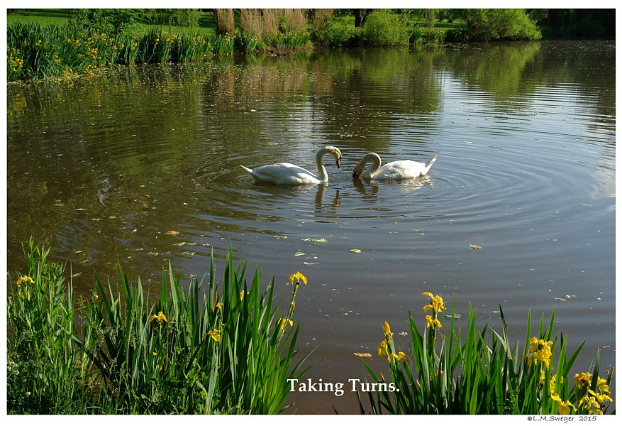 Swans are Polite