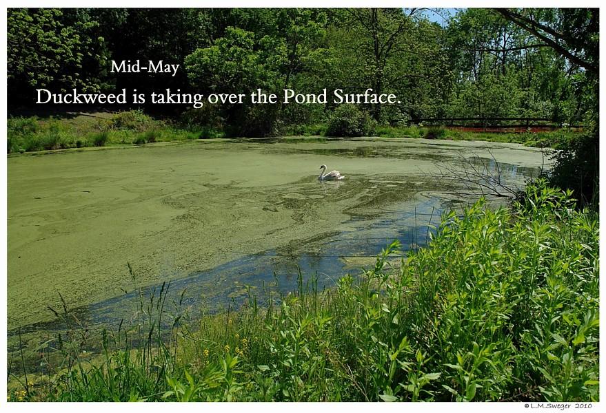 Pond Duckweed
