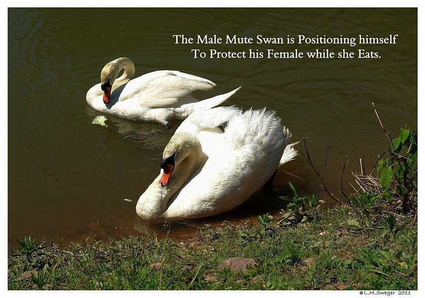Swan Cob Protecting Female