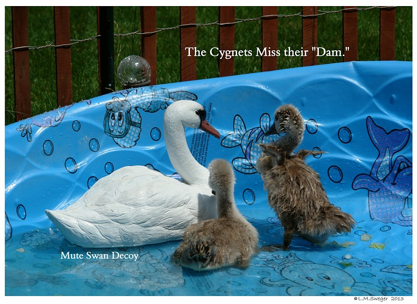 Swan Cygnets Miss their Dam