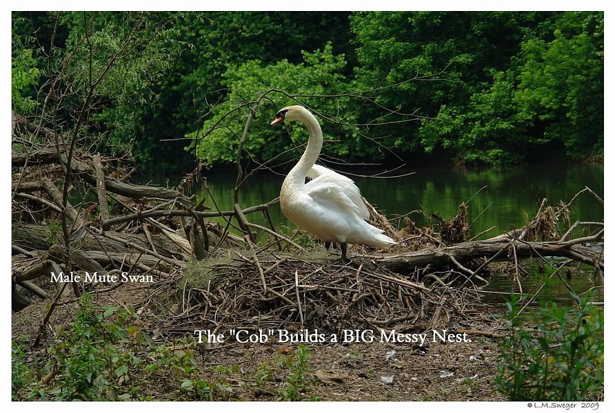 Male Swan Nest