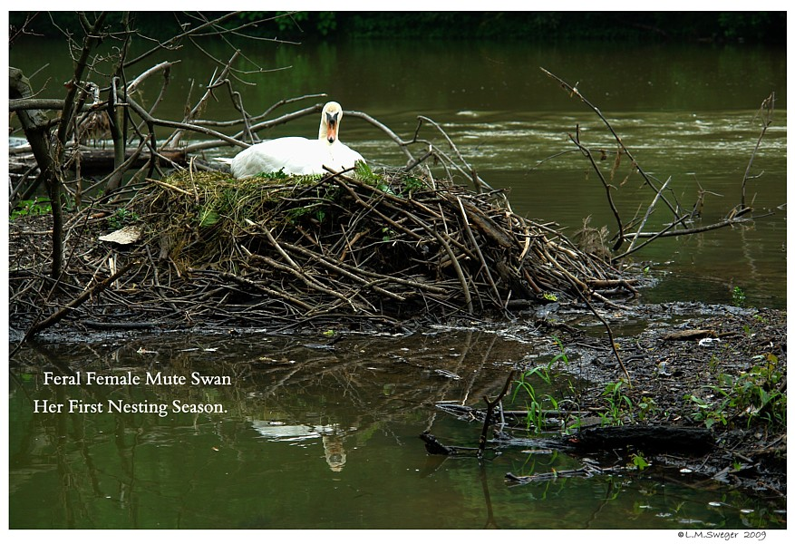 Feral Mute Swan Nesting