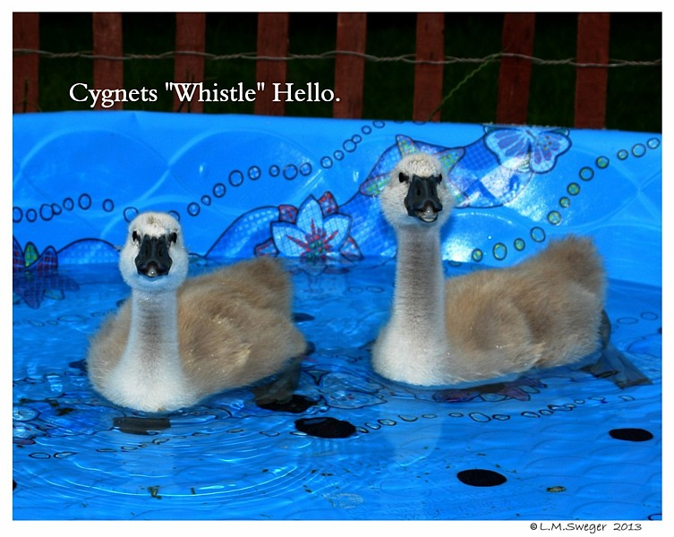 Swans Cygnets Whistle