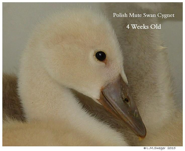 Male Polish Mute Swan Cygnet