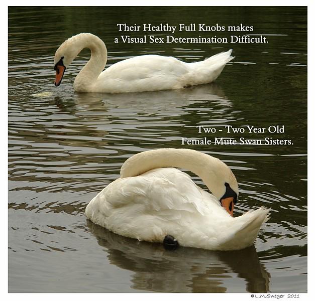 Swan - Wikipedia