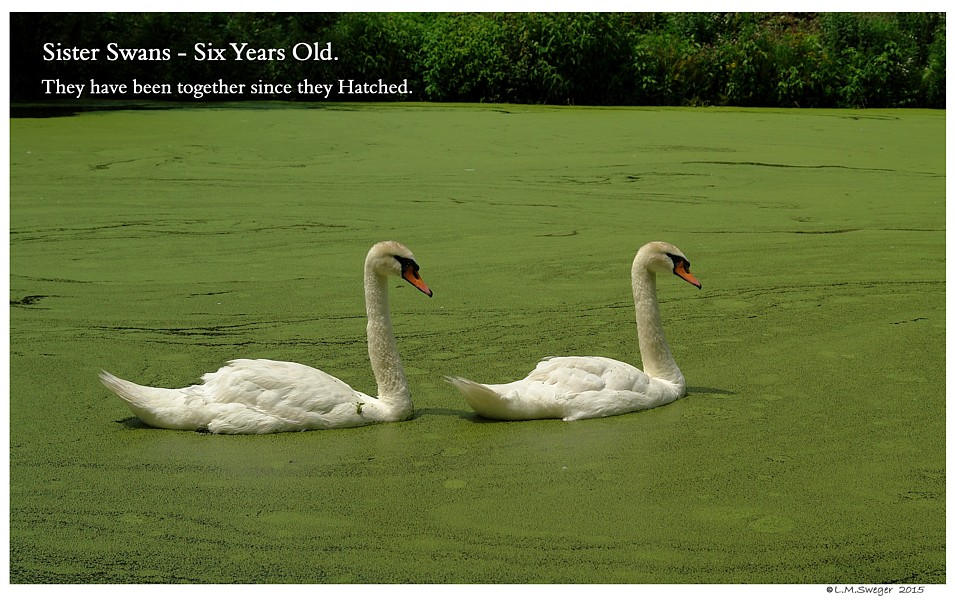 Sister Swans