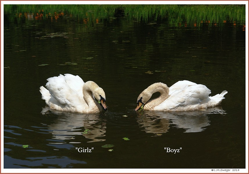 Young Mute Swans