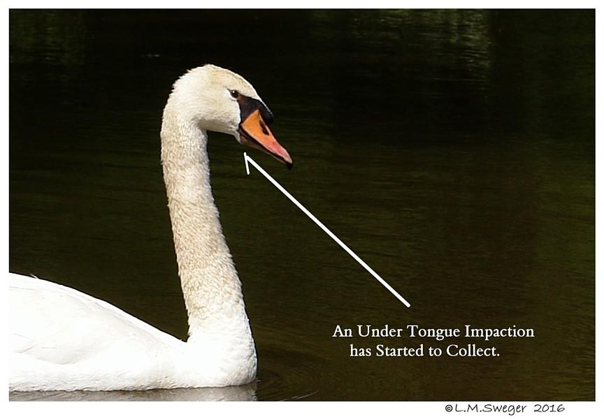 Swan Under Chin Impaction