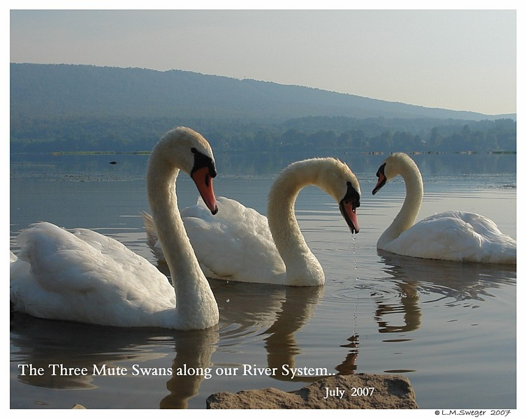 Mute Swans Living Free