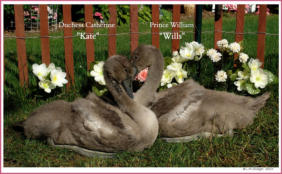 Cygnets Kate Wills