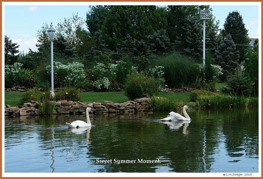 Mute Swans of Summer
