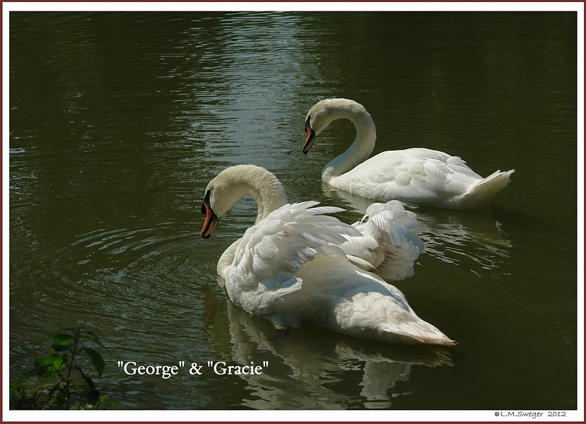 Swans George Gracie