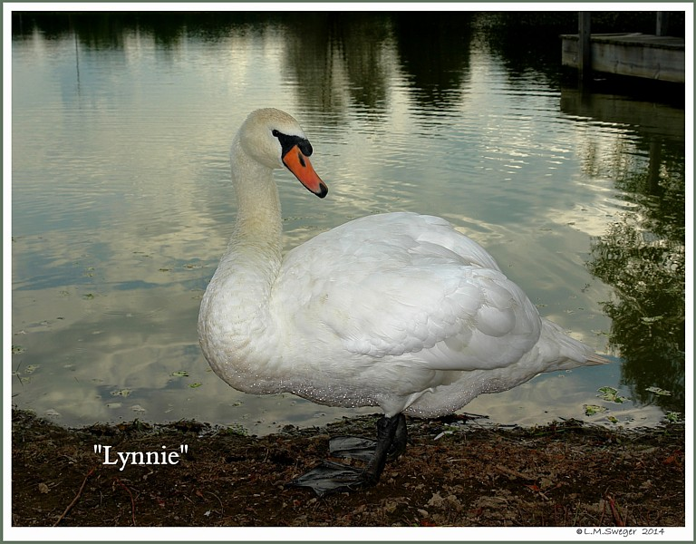Swan Lynnie