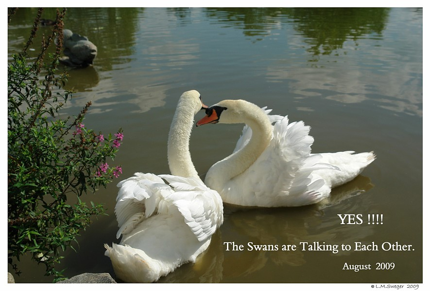 Swans Talk to Each Other