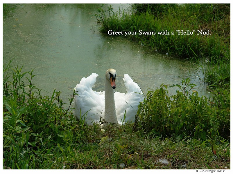 Nod Hello to Your Swan