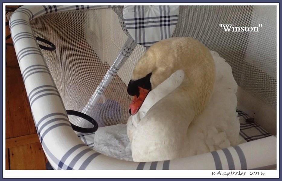 Male Mute Swan Winston
