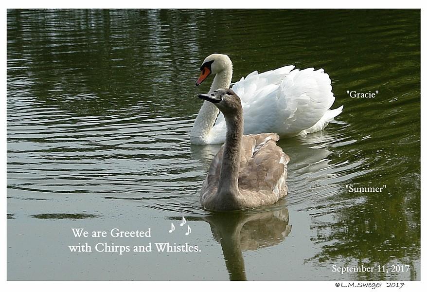 Mute Swan Greeting