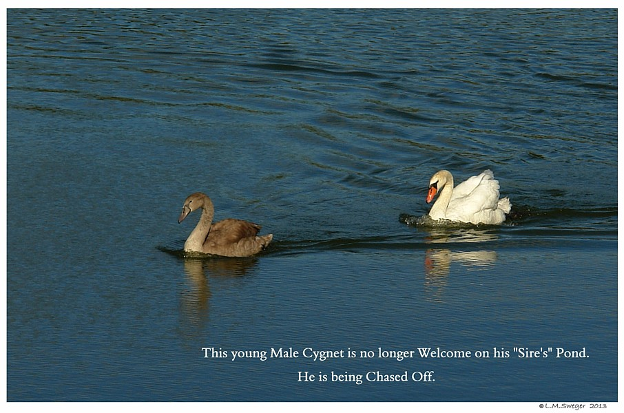 Adult Swan Chases Cygnet
