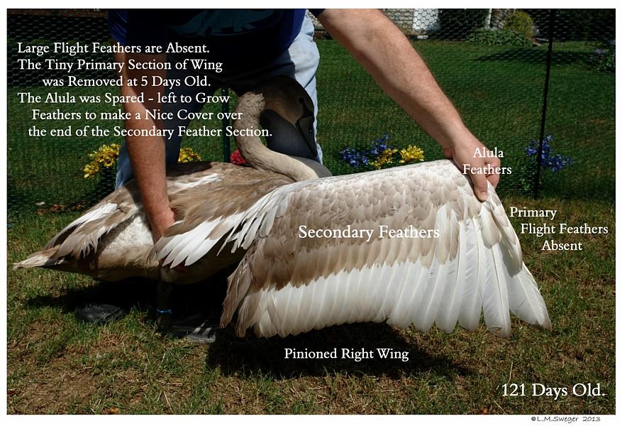 Pinioned Swan Cygnet