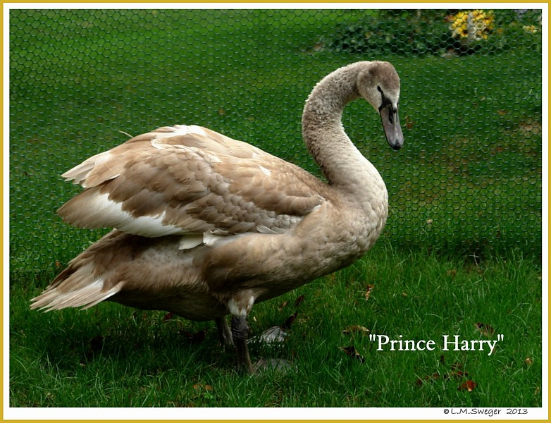 Cygnet Harry