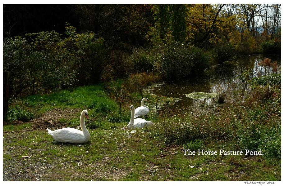 Swans by Pond