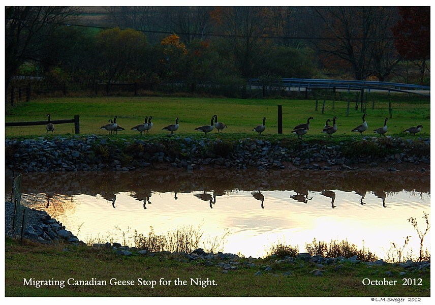 Migrating Canadian Geese
