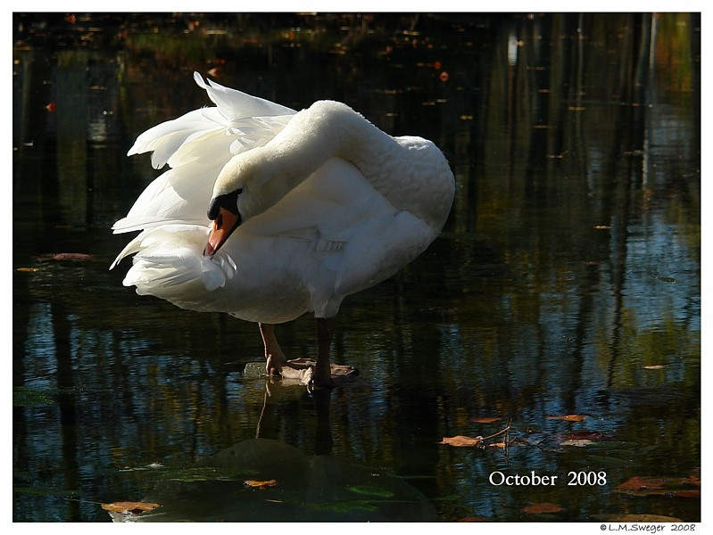 Mute Swan Illegal
