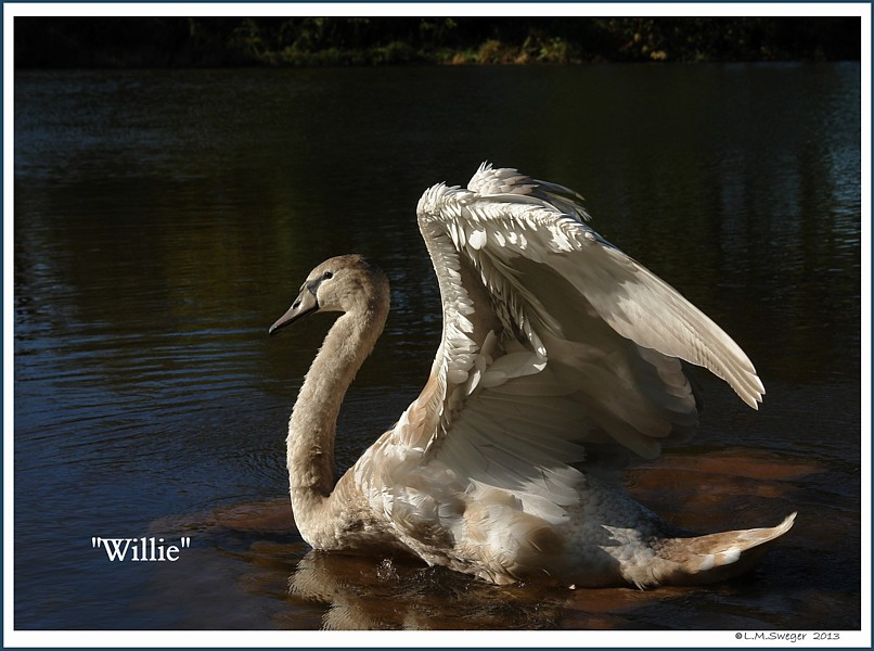 Cygnet Willie