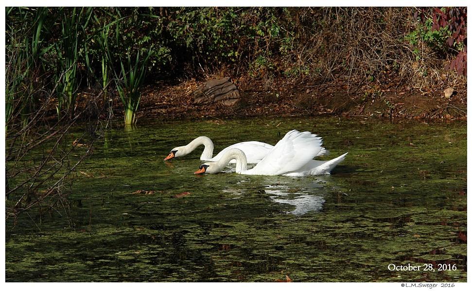 Grazing Mute Swans