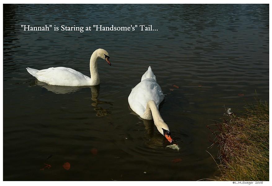 Teasing Swans