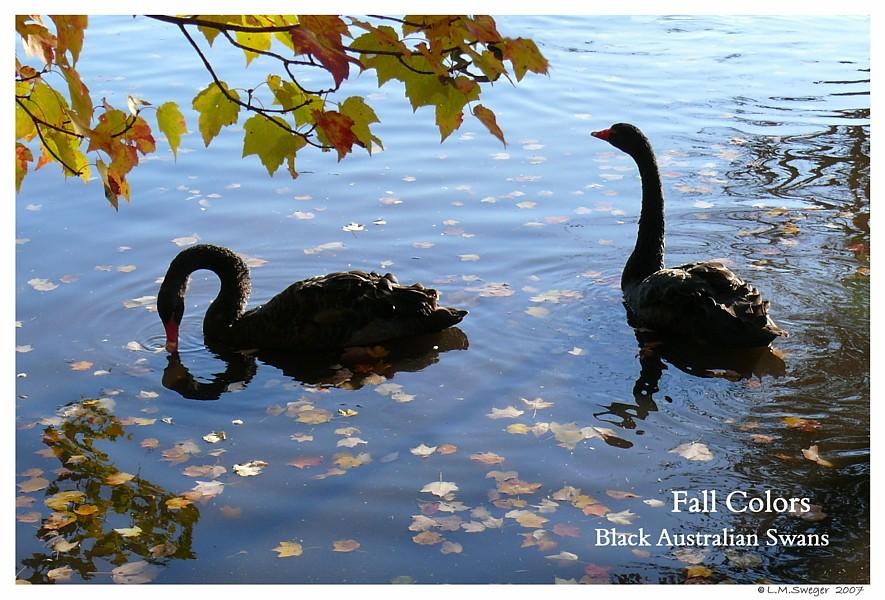 Blk Australian Swans