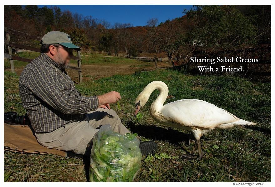 Hand Feeding Swan Trust