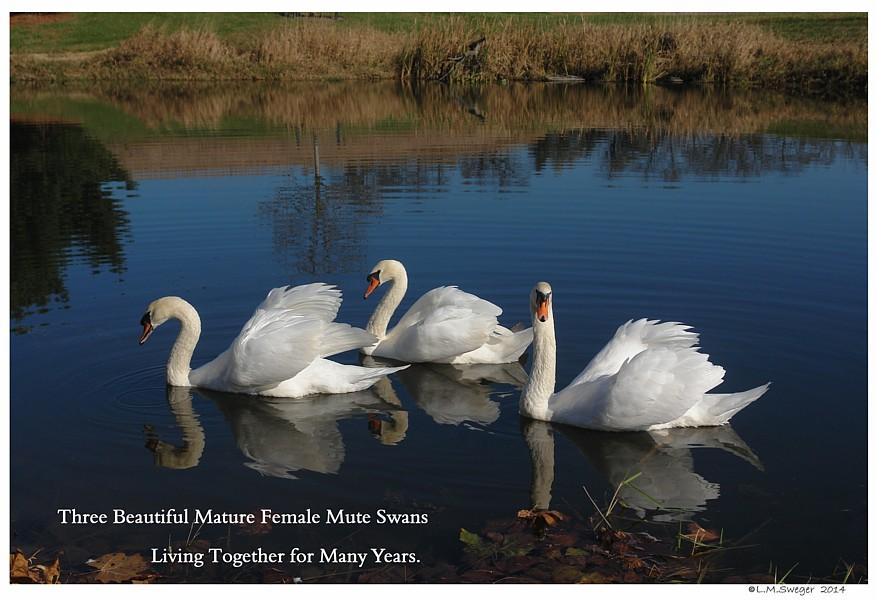 Same Sex Mute Swans